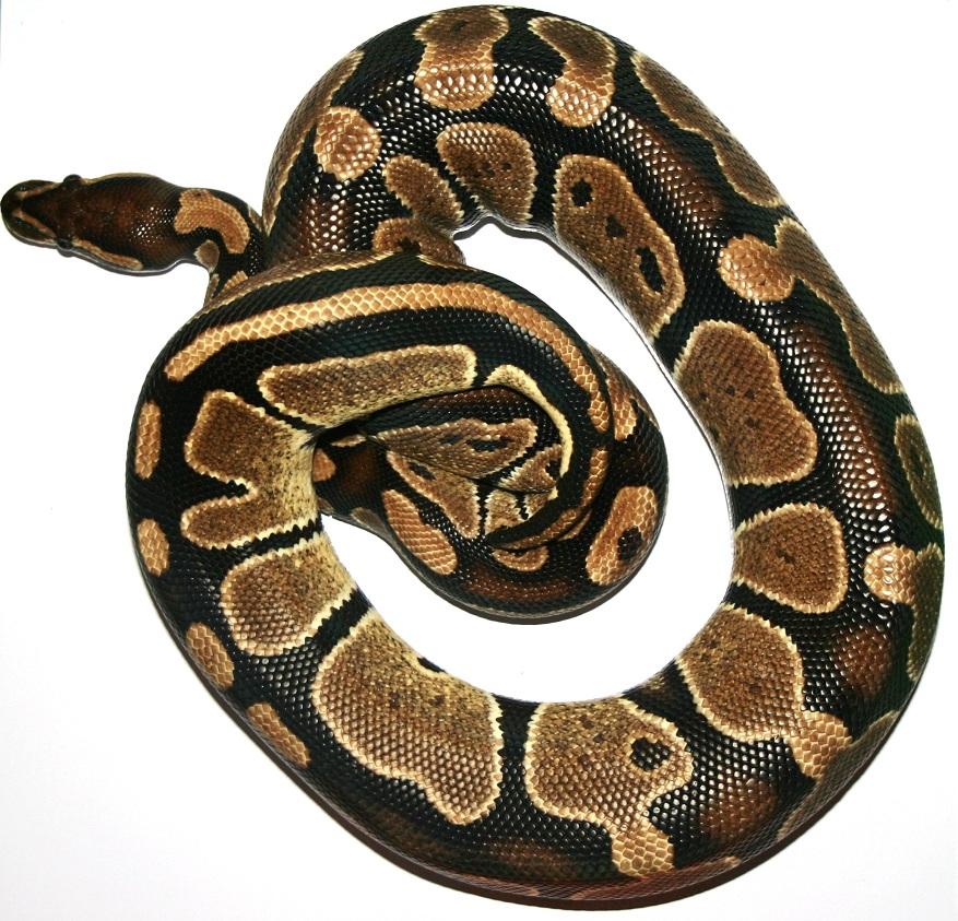 Célèbre cheptel,python,regius,adulte,christophe,photo,materiel UI59